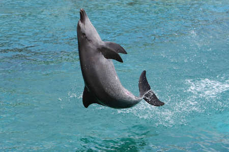 oceanarium: Bottlenose dolphin leaping out of the water to land on its back