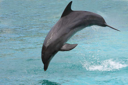 oceanarium: Beautiful and graceful bottlenose dolphin doing a bow jump Stock Photo