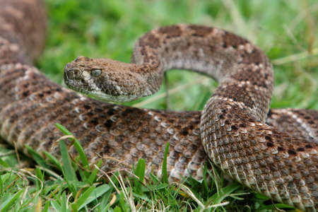 coiled: Sinister looking rattlesnake in a coiled position Stock Photo