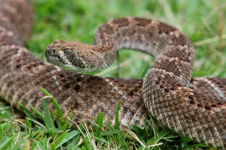 Sinister serpente a sonagli che cercano in una posizione a spirale