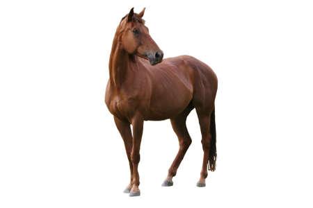 merrie: Knap bruin paard geïsoleerd op witte achtergrond