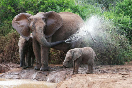 south african: African elephant mother and baby cooling off at a water hole