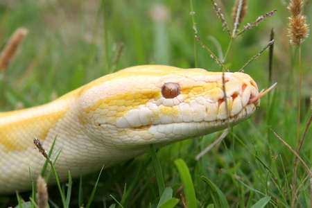 grass snake: Close up of a albino Burmese python with its pink tongue showing Stock Photo