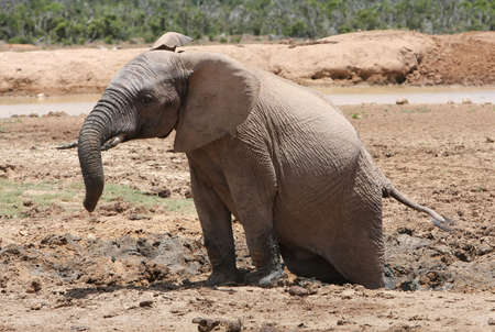 African elephant with hind legs stuck in the mud photo