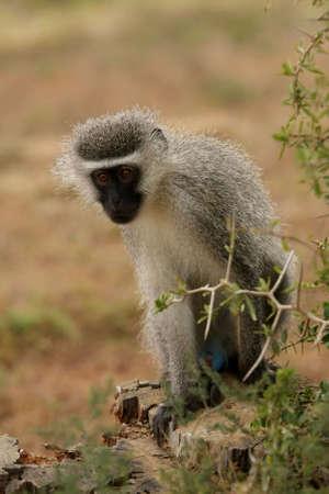gonads: Male vervet monkey with cute black face