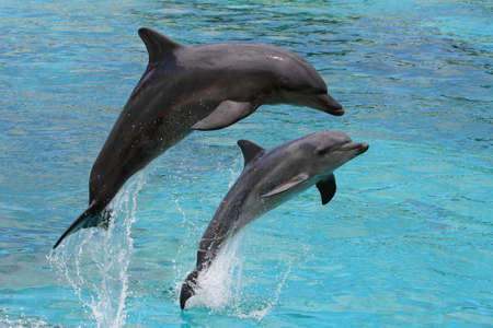 Two bottlenose dolphins leaping out of the blue water together