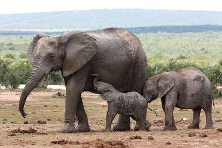 the offspring: Enfermer�a elefante africano, con sus hijos j�venes