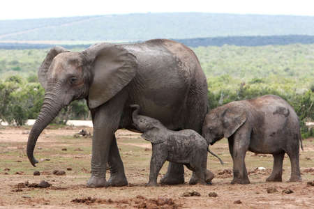 Nursing African elephant with its young offspring photo