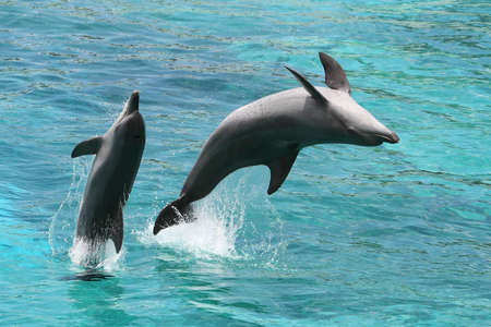Two bottlenose dolphins jumping out of the sea water backwards