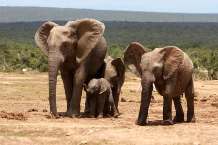 the offspring: Elefante africano madre joven con su descendencia y amigo