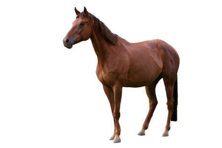white tail: Handsome brown horse isolated on white background Stock Photo