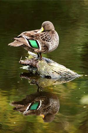 irridescent: Mallard wild duck on a log in a river pond