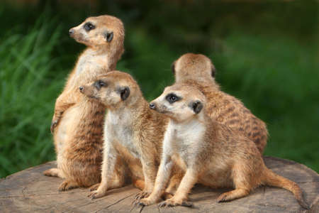 adapted: Meerkat or suricate family on the look out