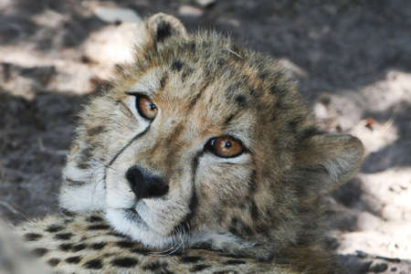 Potrait of a cheetah with big beautiful brown eyes photo
