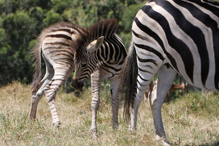 Young zebra foal standing behind it's mother Stock Photo - 4264520