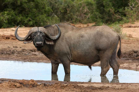 Magnificent Cape buffalo standing in a water hole photo