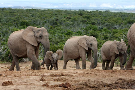 Family of African elephants walking in single file photo