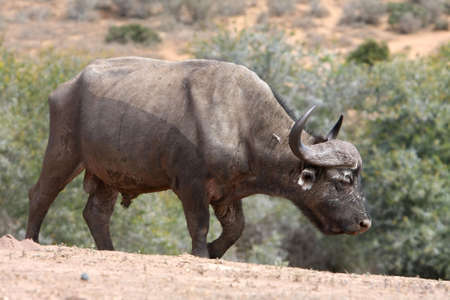 scarred: Battle scarred Cape buffalo bull with large horns Stock Photo