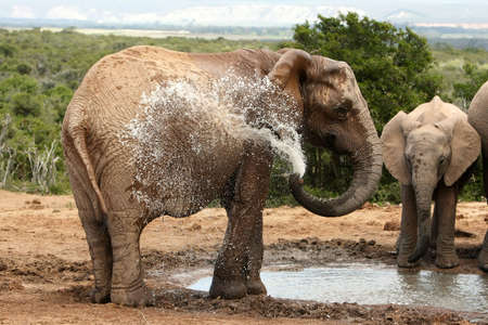 cool down: Female African elephant spraying water to cool down