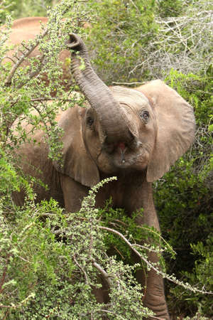 thickets: African elephant stretching to pull leaves of of a tree with its trunk