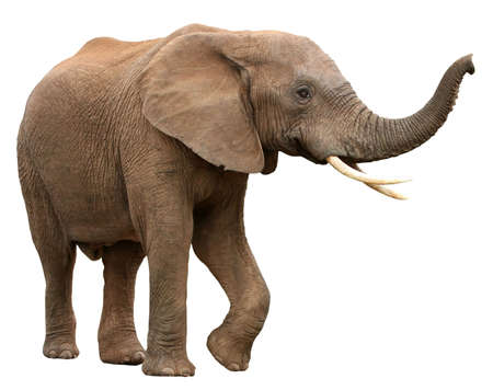 angry elephant: Large male African elephant with long curved tusks - isolated Stock Photo