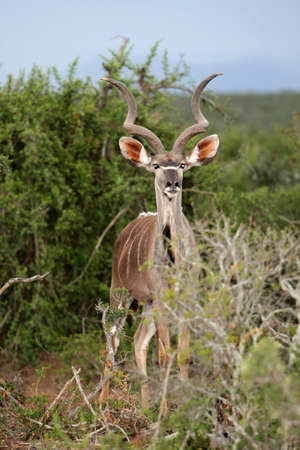 Male kudu antelope with magnificent horns in an African thicket photo