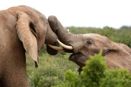 Two African bull elephants having a scrap photo