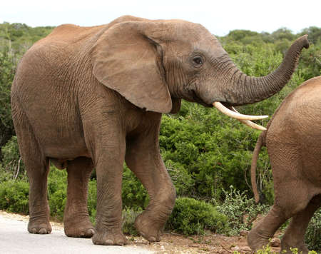 elephant angry: Large male African elephant with long curved tusks