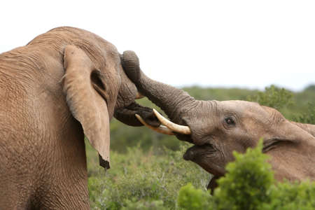 Two male African elephants having an argument photo