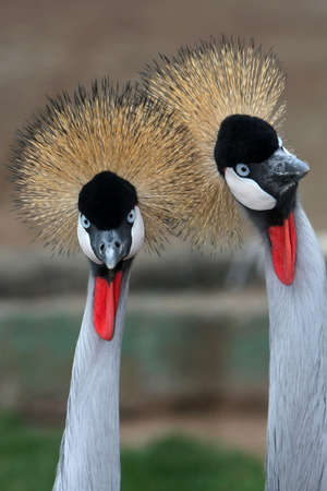Two crowned crane birds with golden crowns and blue eyes Stock Photo