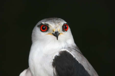 shouldered: Black shouldered kite bird with striking red eyes