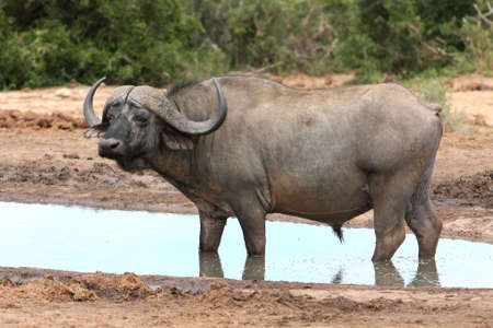 Big male Cape buffalo standing in a water hole