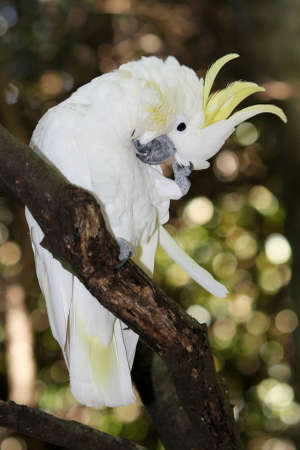 Yellow or sulphur crested cockatoo in a tree scrathing its head photo