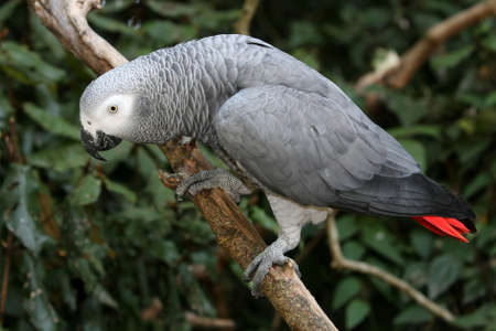 Curious African Grey Parrot perched on a branch photo