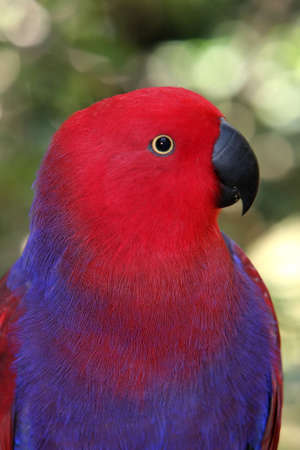 strikingly: Strikingly pretty purple and red parrot with black beak