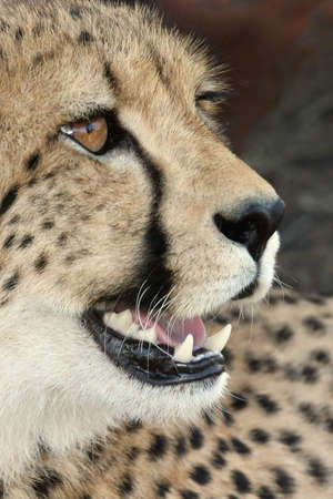 Close up of African cheetah wild cat showing teeth  Stock Photo - 4565110