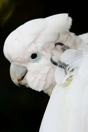 Cockatoo bird scratching its head with its foot photo