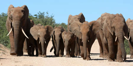 Family herd of African elephants on the move