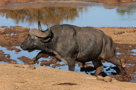 Large African buffalo climbing out of a waterhole photo