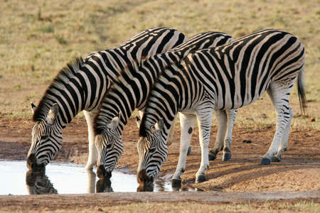 quenching: Three zebras quenching their thirst at an African waterhole Stock Photo