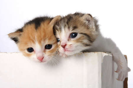 trained: Two tiny cute kittens in a cardboard box