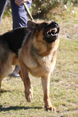 A vicious police dog baring its teeth and barking