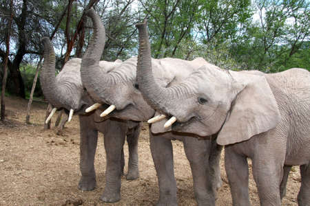 Three tame baby elephants with trunks in the air photo
