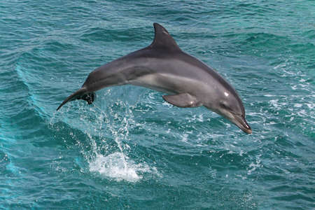 Dolphin jumping out of the blue water photo