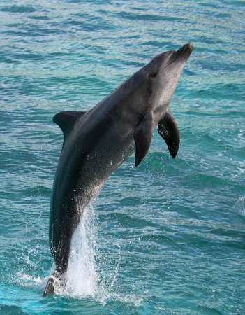 Dolphin jumping clear out of the blue water