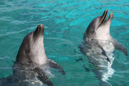 Two Indian Ocean bottlenose dolphins in blue water photo