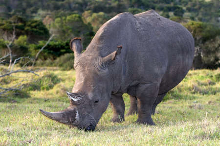 Large white Rhino grazing on the open African grass photo