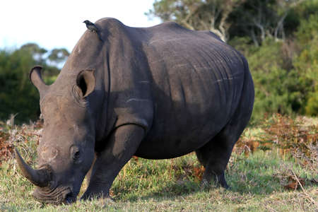 oxpecker: Large white rhino eating grass with a bird on its back Stock Photo