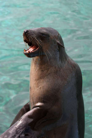 dirty teeth: Cape fur seal with its mouth open showing dirty teeth Stock Photo