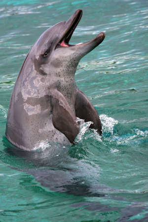 bottlenose: Bottlenose Indian Ocean dolphing with mouth wide open Stock Photo